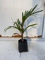 Bottle Palm Tree Hyopherbe lagenicaulis Beautiful Tropical Specimen