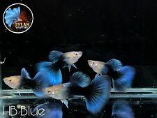 1 Pair - Half Black Blue  -Live Guppy Fish Grade A+