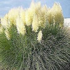 Cortaderia Selloana - White Pampas Grass 50 Seeds