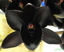 """Fredclarkeara After Dark Svo Black Pearl' Fcc�Aos Orchid Plant Blooming Size 4"""""""