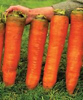Seeds Carrot Red Giant Vegetable Organic Heirloom Russian Ukraine