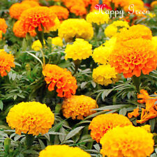 AFRICAN MARIGOLD - CRACKERJACK MIX - 1500 seeds - Tagetes erecta - ANNUAL FLOWER