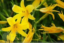 Vegetable seed Perennial daylily seeds garden colorful original package 原装黄花���