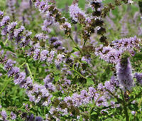 SPEARMINT Mentha Spicata - 100 Seeds