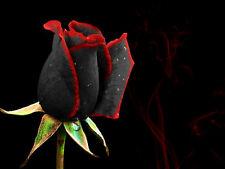 20 SEMI BELLISSIMA ROSA NERA CON BORDO ROSSO BLACK ROSE WITH RED EDGE RARE
