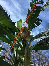 *GIANT* TALLEST MUSA BASJOO Cold Hardy BANANA TREE Plant 5 FT+