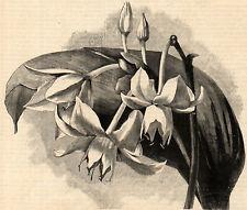 EUCHARIS CANDIDA 1894 Flowers - Botany VICTORIAN ENGRAVING