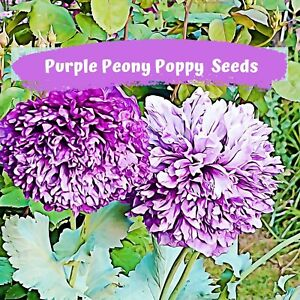 Purple Peony Poppy Seeds  100 plus seeds in each pack