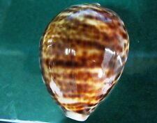 "Cypraea Tigris  mm F+++ 75.3""especial YELLOWISH STRIPED color pattern,"