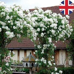 WHITE CLIMBING BOWER ROSE SEEDS GARDEN PLANT GARDENING 20% OFF WITH MULTIBUY