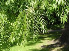 2x rare Black Walnut Tree JUGLANS NIGRA hardy fruit wildlife food Autumn colours