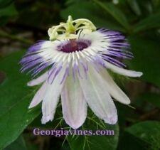 Passiflora foetida Love in Mist 10 seeds