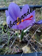 8x Saffron bulbs (crocus sativus)
