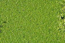 Portion Wasserlinsen Algenkiller, Futterpflanzen Schwimmpflanze 500 Gramm