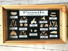 More details for framed collection of fossilised shark teeth display box case dinosaur fossils