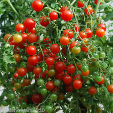 Tomato Sweet Pea Currant Certified Organic Seed Hangingbaskets!