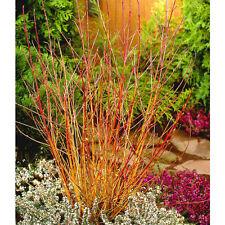 3 Midwinter Fire Dogwood / Cornus Sanguinea 30-50cm Tall, Flame-coloured Stems