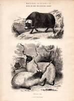 1877 Stampa Naturale Hisstory Muschio Bue ~ Wallachian Pecora