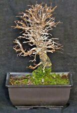 Bonsai - Ulmus japonica - japanische Ulme - Shohin - Freilandbonsai - Outdoor #2