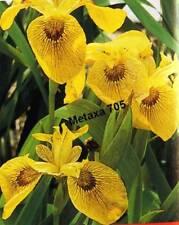 7 graines Flambe d'eau , iris pseudacorus (iris de marais)