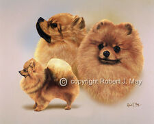 Pomeranian Multistudy Print by Robert J. May