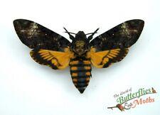 Deaths Kopf Hawk Schmetterling Acherontia Atropos Set x1 Buchse A Siehe Qualität