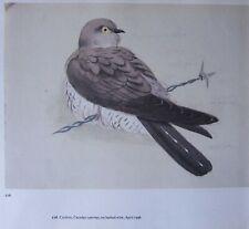 Beau Tunnicliffe Oiseau Imprimé ~ Coucou