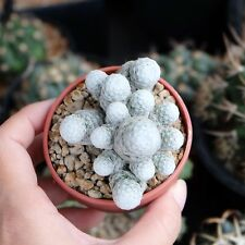 Cactus House,Rare Plant,Unique Pot,Container,Mammillaria Humboldtii,2-inches