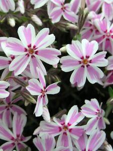 Phlox sub. 'Candy Stripes' -Alpine - 9cm pots