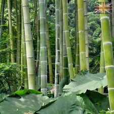1000 Moso seeds Phyllostachys pubescens giant Rare