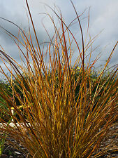 Carex testacea Prairie Fire - Prairie Fire New Zealand Sedge, Plant in 9cm Pot