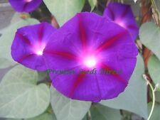 FLOWER MORNING GLORY IPOMOEA GRANDPA OTTS 250  SEEDS