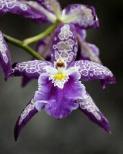 purple spots leading orchid seeds, 20 seeds