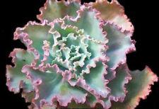 Echeveria gibbiflora 10~15 SEEDS *Exotic Cute Rare succulents love Bonsai CombSH