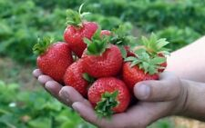 Strawberry HONEY SUMMER Seeds large fruited red strawberry Ukraine 5 seeds