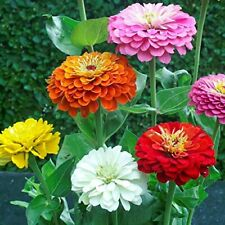 Zinnia - California Giant Flower Seeds Mix - 1,500 by Seeds2Go