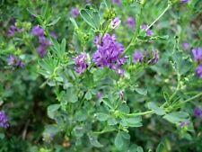 1 lb Alfalfa Seed Pasture and Deer & Wildlife Food Plot