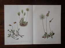 Set of 18 Vintage Walcott Wildflower Prints - Lupine Pitcher-plant - Free Ship