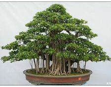 Beautiful Banyan Bonsai Tree -Indian Strangler Fig - 10 Fresh Seedss