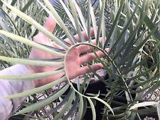 Encephalartos Lehmannii 5 Gallon Pot Rare Blue Cycad Botanic Wonders Nursery