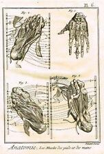 Diderot's Enclyclopedie - ANATOMIE, LES MUSCLES DES PIEDS & DES MAINS - c1750