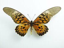 Papilio antimachus ssp. antimachus Männchen