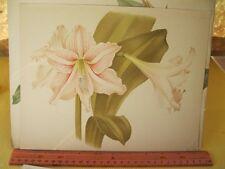 Vintage Print,AMARILLIS,Flower,Chromo,The Garden,1880-1900