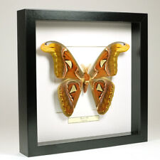 Real taxidermy butterfly mounted in black wooden frame - Attacus Atlas