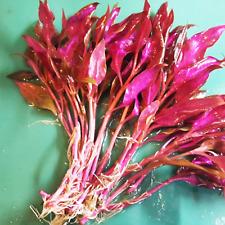 Alternanthera Reineckii Rosanervig Bunch Freshwater Live Aquarium Plant Red Rare