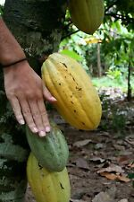 1 whole Cocoa POD  <BUY 3 get 1 FREE > VIABLE~ ORGANIC Exotic chocolate BY DHL