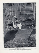 BASSET HOUND ORIGINAL VINTAGE DOG PRINT PAGE 1934 THE BASSET HOUND HURDLING