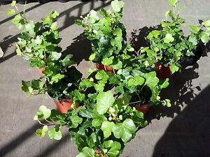 6 x Hedera Indoor/Outdoor Trailing Green Ivy 8cm Pots