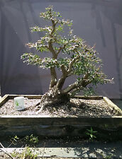 Bonsai Tree, Ilex Shilling, Ilex Vomitoria 'nana', Speciemen Bonsai, Outstanding