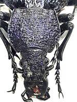 Beetle, 30616, Carabidae, Procerus sp., from Crimea GOOD SIZE!!!